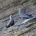 Noddy terns (46861881855).jpg