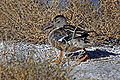 Northern Shoveler Struting.jpg