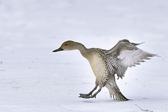 Northern pintail - Northern pintail female