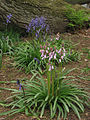 Not all bluebells are blue - geograph.org.uk - 774910.jpg