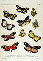 NovaraExpZoologischeTheilLepidopteraAtlasTaf22.jpg