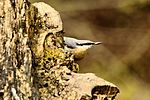 Nuthatch - Lackford Lakes (26523936510).jpg