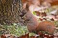 Nutty squirrel (49308930942).jpg