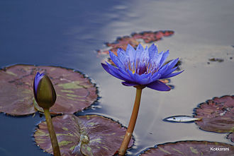 Nymphaea nouchali - The blue star water lily