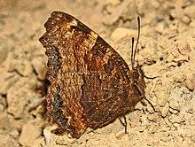 Nymphalidae - Nymphalis polychloros-001.JPG