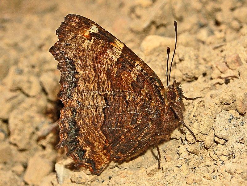 Bộ sưu tập cánh vẩy 6 - Page 9 800px-Nymphalidae_-_Nymphalis_polychloros-001