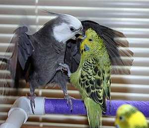 Cockatiel (aviculture) - A cockatiel and a budgerigar fighting in captivity.
