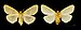 Ocneria rubea MHNT.CUT.2012.0.357 Monteils (Gard) Female.jpg