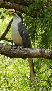 Sri Lanka grey hornbill