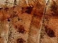 Odonata (YPM IZ 098660).jpeg