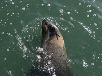 Eared seal - Eared seal off the Namibian coast.