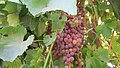 Old Vineyard Visit - panoramio (9).jpg