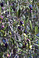 Olives (CAILLETIER) CL. J Weber (8) (23122207706).jpg