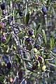 Olives (CAILLETIER) CL. J Weber (8) (23122207706).jpg