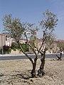 Olivos - panoramio.jpg