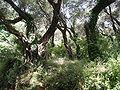 Olivträd, Grekland.JPG
