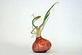 Onion white background2.jpg