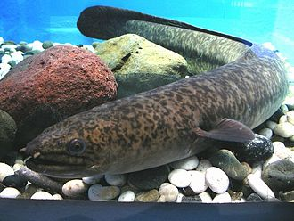 Teraina - The widespread marbled eel is also found in Teeraina's lake.