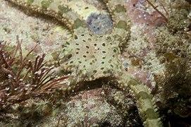 Ophiomyxa australis