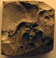 OphiuraWetherelli-NaturalHistoryMuseum-August23-08.jpg