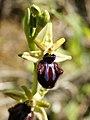 Ophrys incubacea (flower).jpg
