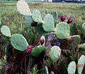 Opuntia-anahuacensis-galveston-island.jpg