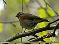 Orange-flanked Bush Robin (Tarsiger cyanurus) (20753220751).jpg