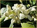 Orange Blossoms 3-9-14 (13629966875).jpg