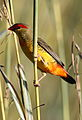 Orange breasted waxbill, Amandava subflava, at Suikerbosrand Nature Reserve, Gauteng, South Africa (25816687371).jpg