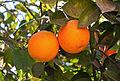 Oranges du Maroc.jpg