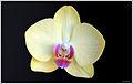 Orchid on black (6390863981).jpg