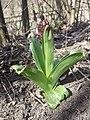 Orchis purpurea sl63.jpg