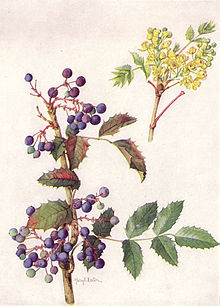 Oregon Grape (NGM XXXI p515).jpg