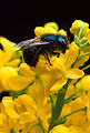 Osmia ribifloris bee.jpg