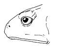 Osornophryne puruanta female lateral view - ZooKeys-108-073-g011.jpg