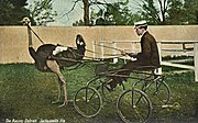 Ostrich pulling a cart for racing.