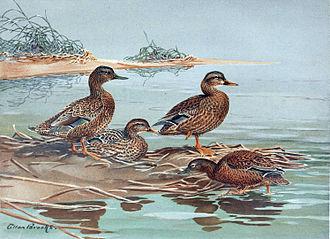 Mariana mallard - Illustration by Allan Brooks (third bird from left)
