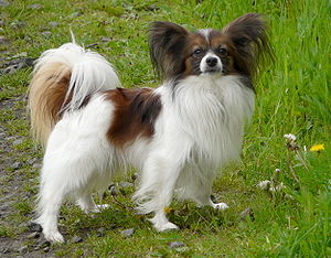 Papillon dog - The papillon's large, butterfly-like ears and symmetrical face gave the breed its name.