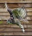 Owl1 (5087125494).jpg