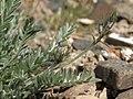 Oxytropis (unnamed species) (27662790798).jpg