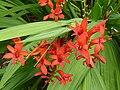 P1000306 Crocosmia (Lucifer) (Iridaceae).JPG