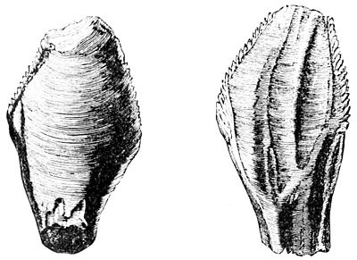 PSM V34 D486 Teeth of iguanodon.jpg