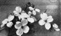 PSM V63 D257 Flowering dogwood.png