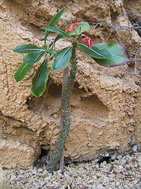 Pachypodium baroni
