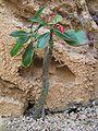 Pachypodium baroni.JPG