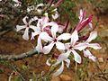 Pachypodium succulentum02.jpg