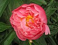 Paeonia sp. (Celina, Ohio, USA) 1 (18909008098).jpg