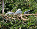Painted Stork (Mycteria leucocephala)- juveniles at nest W3 IMG 7214.jpg