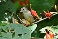 Pale-billed Flowerpecker (Dicaeum erythrorhynchos) on Helicteres isora W IMG 1375.jpg