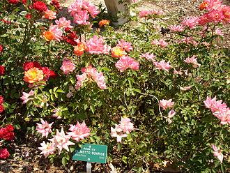 University of California, Riverside Botanic Gardens - Palmetto Sunrise flowers at the gardens